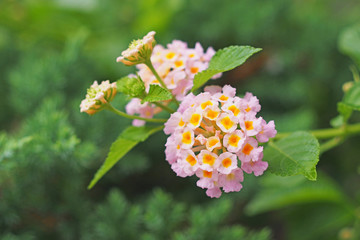 blooming pink Lantana ( Wild sage, Cloth of gold)