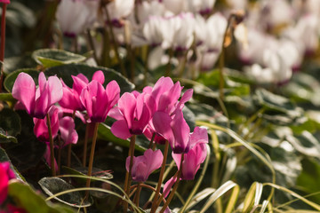 cluster of pink cyclamen flowers