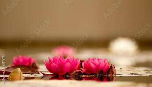 Beautiful Pink Lotus,