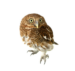 owl of white background