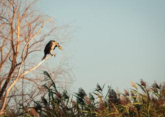 Cormorant, greet the dawn, Volga delta, Russia