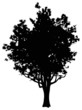 old oak tree silhouette isolated on white