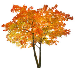isolated bright red autumn maple tree