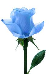 blue beautiful single rose