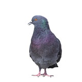 isolated feral pigeon poster