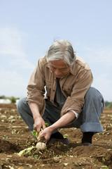 畑からカブを収穫するシニア男性