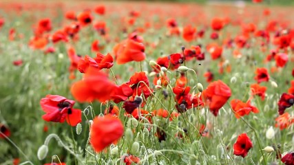 Meadow with beautiful red poppy flowers in spring