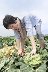 キャベツを畑で収穫する女性