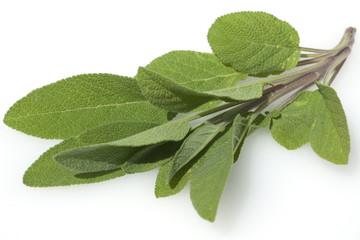 Salbei; Salvia officinalis;