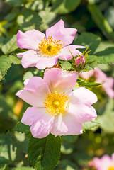 Pink Eglantines