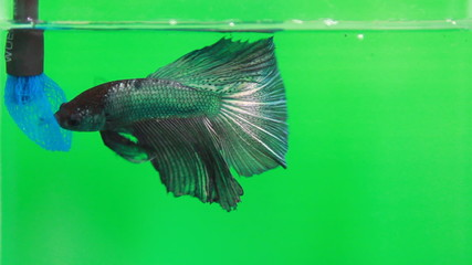feeding siamese fighting fish on green-screen