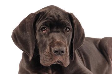 Deutsche Dogge Welpe schwarz Portrait