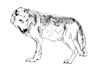 Hand drawing a wolf. Vector illustration