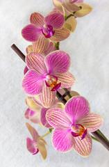 Phalaenopsis flowers (orchid)