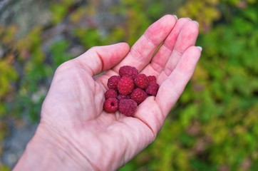 Freshly picked red raspberries in a womans hand.
