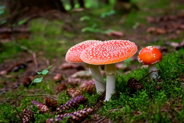Poisonous fly agaric in the forest in summer.