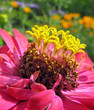 Close up of pink zinnia with yellow stamens