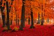 Obrazy na płótnie, fototapety, zdjęcia, fotoobrazy drukowane : Foggy mystic forest during fall