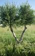 Piccolo albero di ulivo