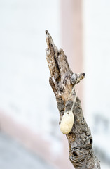 Close up cocoon on old branch