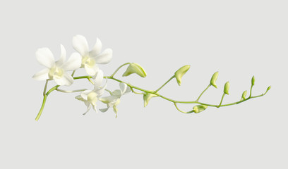 white orchid on grey background,isolated object