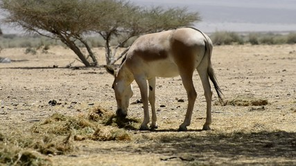 Onager (Equus hemionus) in National Reserve park near Eilat
