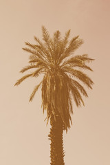 A date palm tree in low sunlight, against a pink sky.
