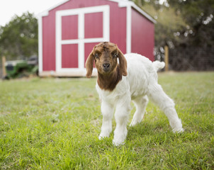 A baby goat outside a barn.