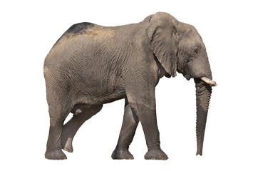 Walking elephant on white