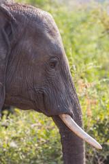 Closeup of elephant in alert