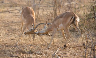 Impala antelopes fighting