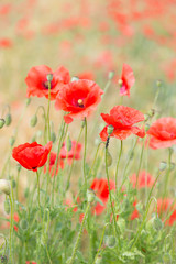 Red poppy field.