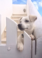 cute little white puppy dog leaning against a white fence