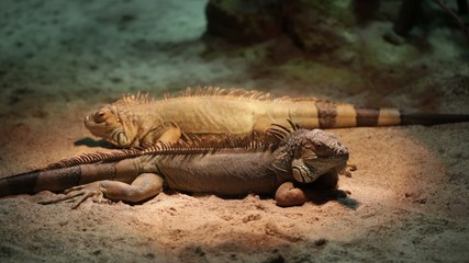 pair of iguanas lying on the sand