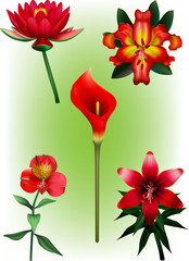 Five Red Lily Vector Illustrations