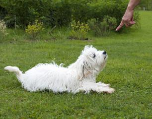cane obbediente