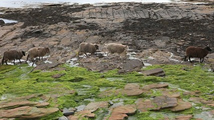 A view of Sheep from North Ronaldsay, Orkney, Scotland