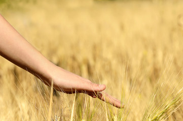 Touching  wheat in a field