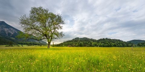 single tree in rural meadow with flowers in spring time