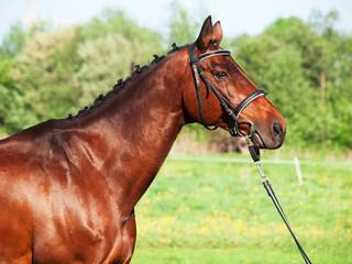 portrait of bay sportive horse