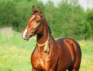 Portrait of  Akhal teke horse