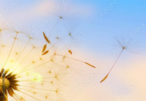 Pusteblume (Löwenzahn) - 65609754