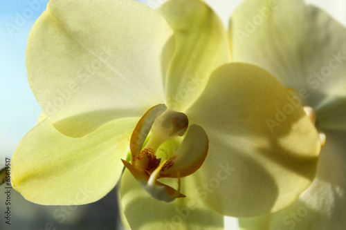 flower of a blossoming yellow orchid
