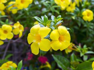 Yellow Allamanda.