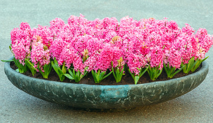 Flowerbed with pink hyacinths