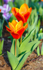 Spring red-yellow tulips (closeup)
