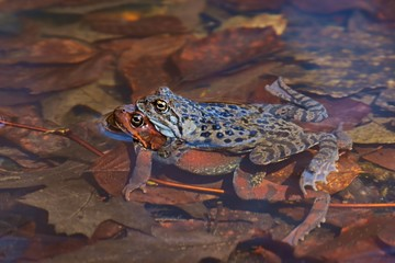 Moor Frog (Rana arvalis), pair of frogs during mating