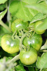 Green tomatoes on the branch.