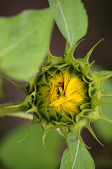 Sunflower bud with the hidden in the petals ladybird.