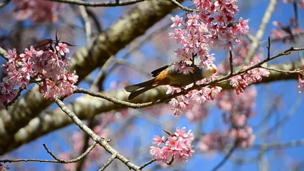 cute little bird eating nectar of cherry blossom tree